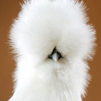 Super silkie chicken