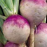 Purple globe turnips