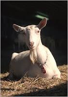 Pharm goat