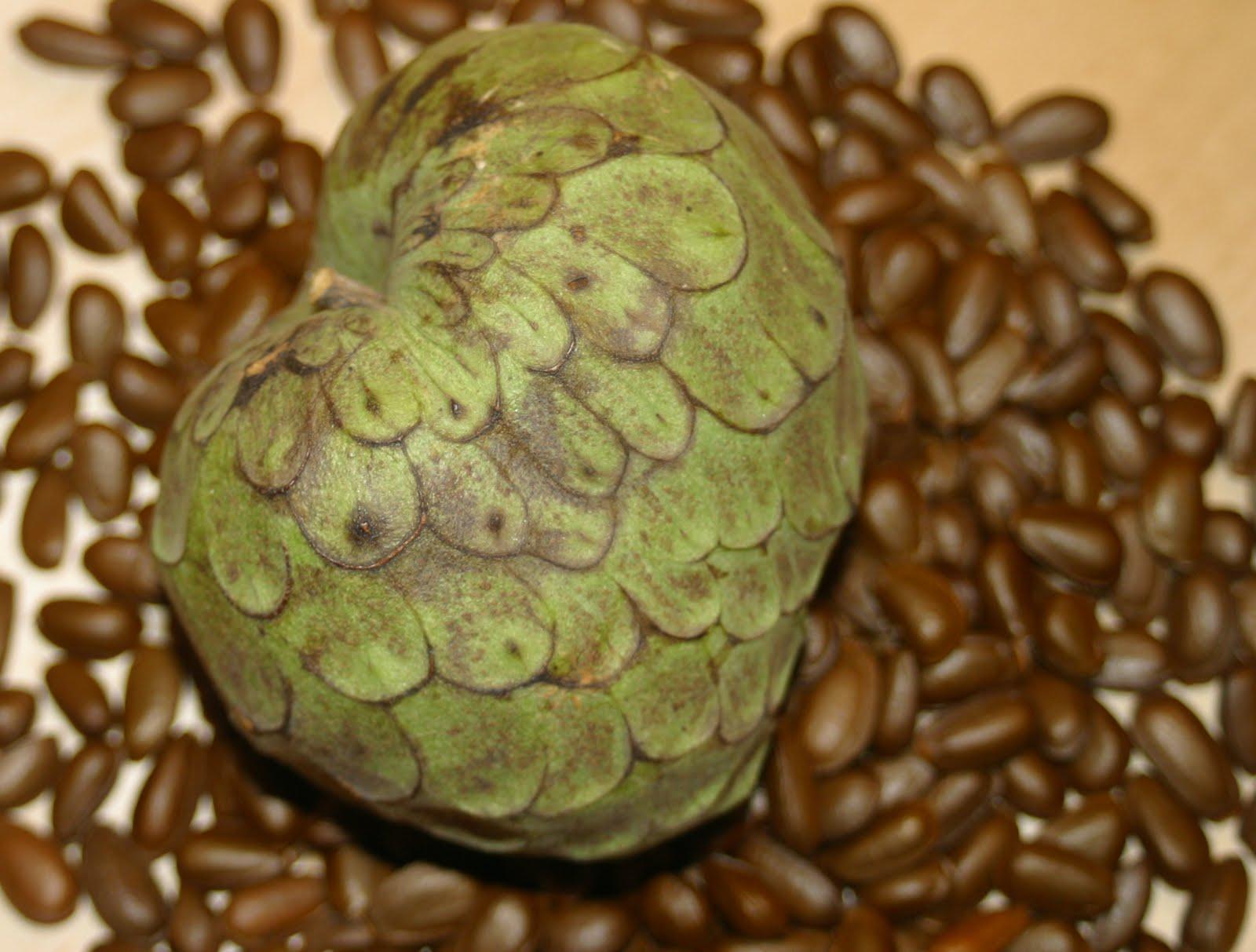 how to grow cherimoya seeds