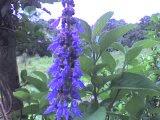 Flor de boldo...
