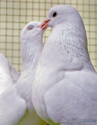 Cara memelihara burung merpati