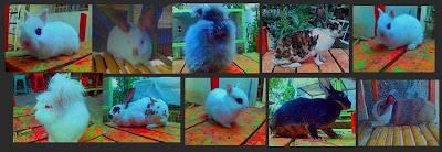 kelinci hias