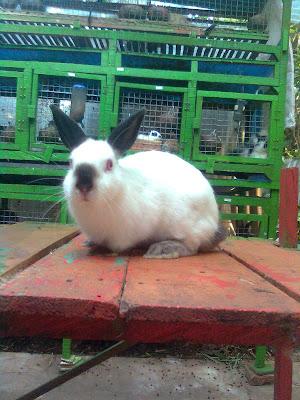 kelinci himalayan riponti rabbit