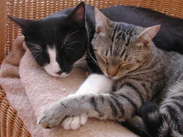 Sibiriche Katzen Birka von der