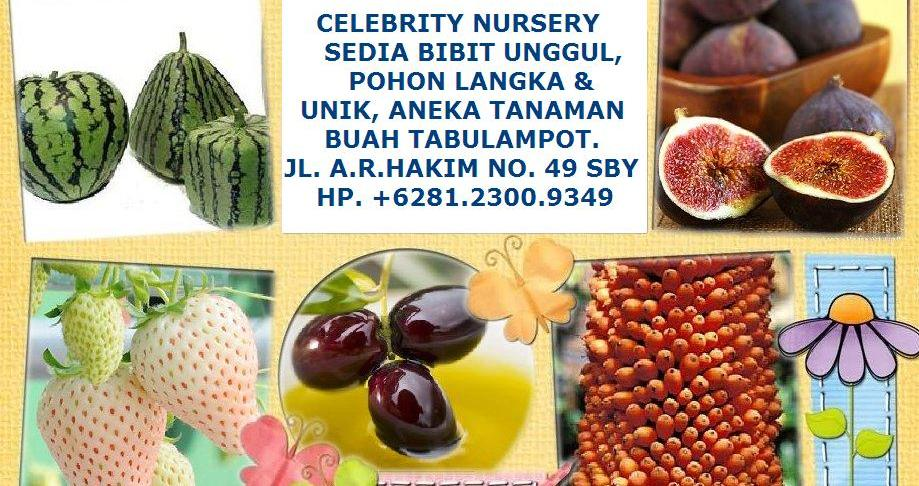 """CELEBRITY NURSERY""  TEMPATNYA BIBIT UNGGUL, POHON LANGKA, UNIK DAN POHON TIN ZAITUN"