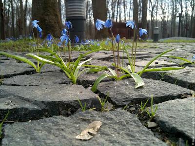 Пролески на польском кладбище