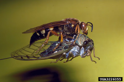 Cicada Killer, with cicada - photo by Ronald F. Billings, Texas Forest Service, Bugwood.org