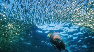 Shoal Of Fishes