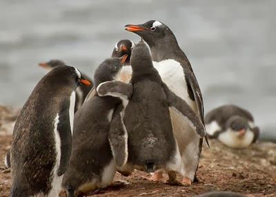 Gentoo_Penguins_Elephant_Island_26