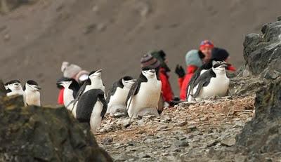 Gentoo_Penguins_Elephant_Island_23