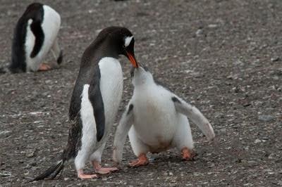 Gentoo_Penguins_Elephant_Island_21
