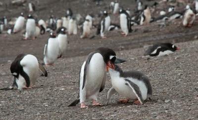 Gentoo_Penguins_Elephant_Island_19