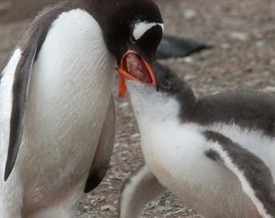 Gentoo_Penguins_Elephant_Island_20