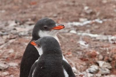 Gentoo_Penguins_Elephant_Island_18