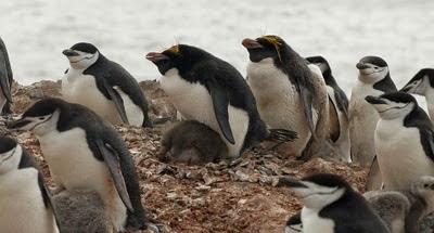 Gentoo_Penguins_Elephant_Island_15