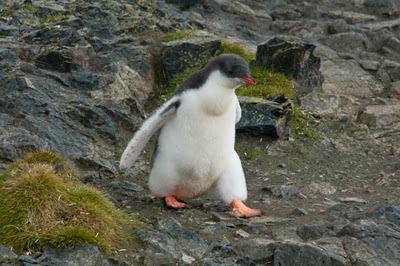 Gentoo_Penguins_Elephant_Island_11