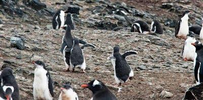 Gentoo_Penguins_Elephant_Island_3