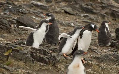 Gentoo_Penguins_Elephant_Island_4