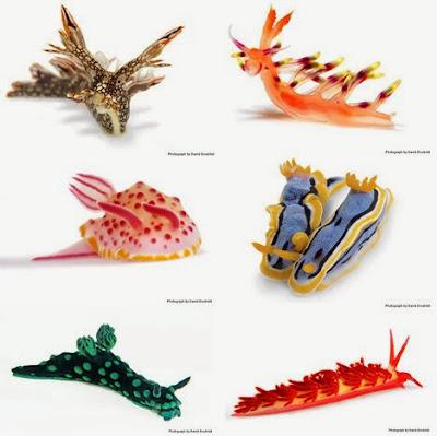 Nudibranch_Amazing_Sea_Slugs_16