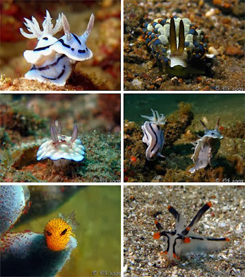 Nudibranch_Amazing_Sea_Slugs_15