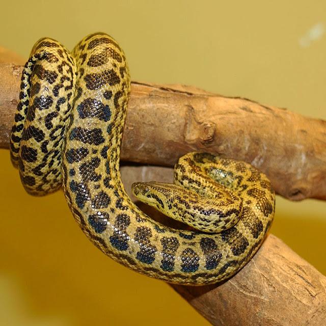 Anacond