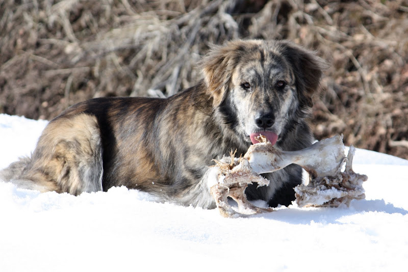 Marley lays on the snow with a brown hillside at his back.  His tongue is just sticking out at the deer bone that lays in front of him