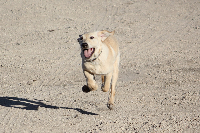 Becky runs through the dirt.  All 4 feet are in the air and she has a crazy look on her face