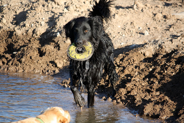 Hugo stands at the edge of a pond with a yellow frisbee in his mouth as he waits for Paris to get out of the water.