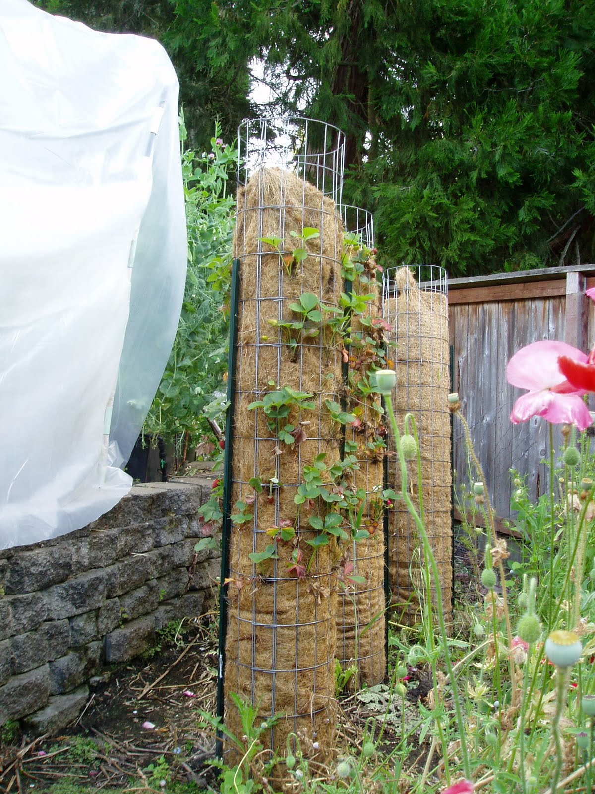 The Musings Of A Transplanted Gardener Strawberry Towers
