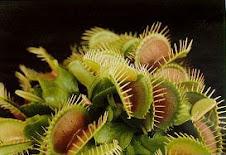 Una colonia de Dionaea muscipula