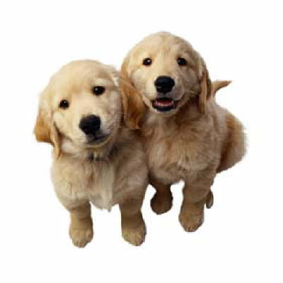 Golden Retriever Puppies on Golden Retriever Puppies Jpg