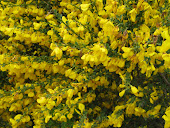 Yellow flowering bush