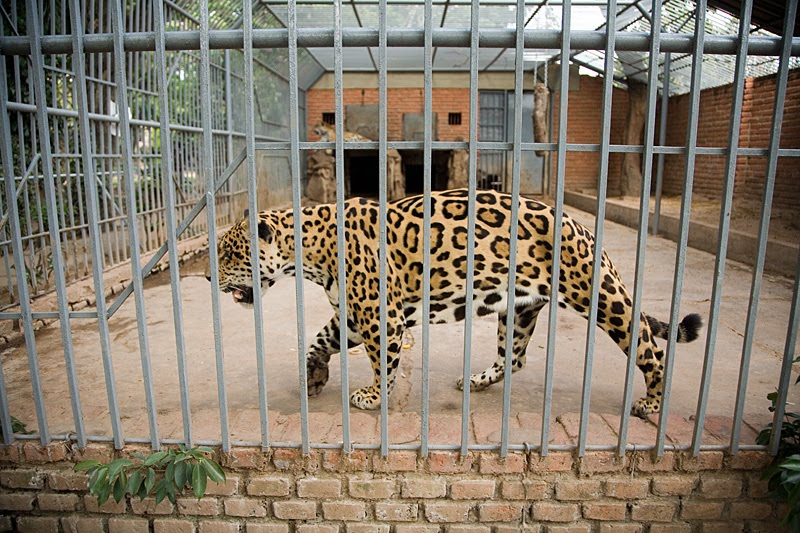 its cruel to keep animals in cages It's cruel to keep animals in cages keeping animals in cages is a cruel and selfish act would you enjoy being locked up in a cage your entire life without room to move.