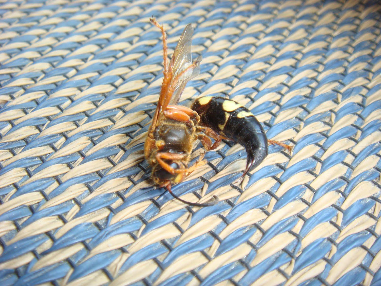 Hornet stinger in skin