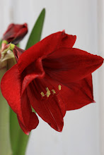 Amaryllis -en favoritt