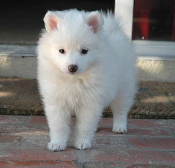 Dog Breed Gallery: American Eskimo Dog Breeds