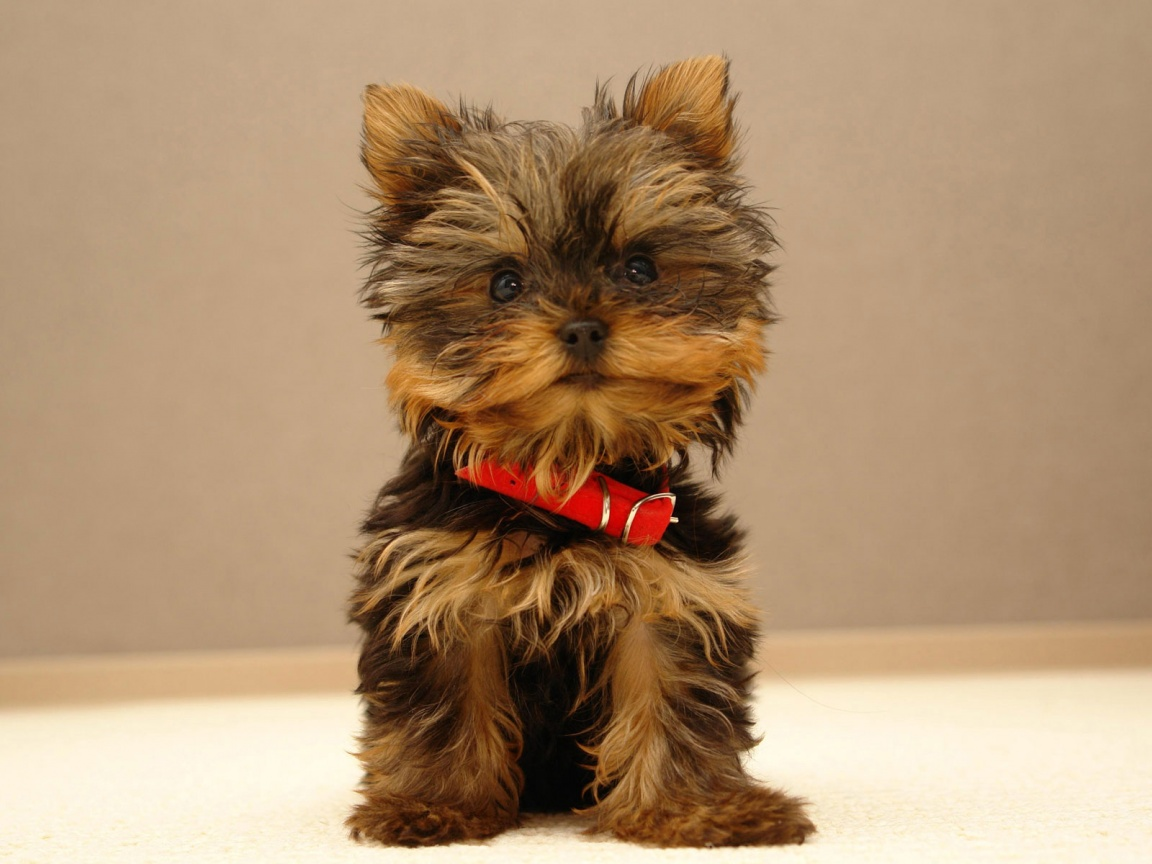 Dog Breed Gallery: Funny Yorkshire Terrier