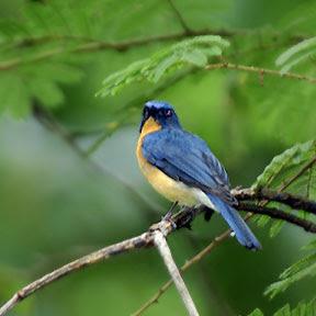 perawatan tledekan burung tledek an yang sehat dan tera
