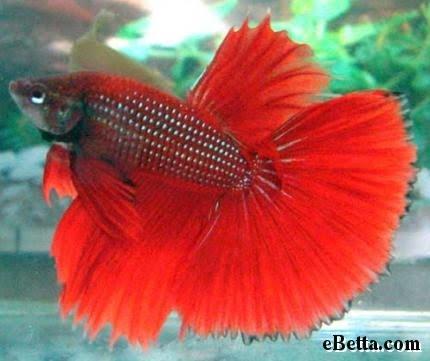 BERBAGI RASA SEJUTA ILMU: Macam - Macam Jenis Ikan Cupa