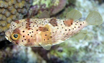 B y marine fish shop for Porcupine puffer fish