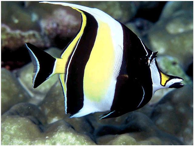 Inilah 5 Ikan Tercantik diDunia