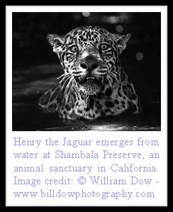 Of Cats: Jaguar Facts