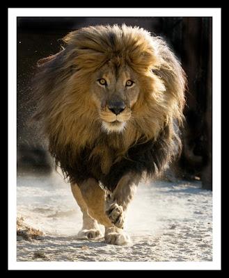 Zeus The Liger