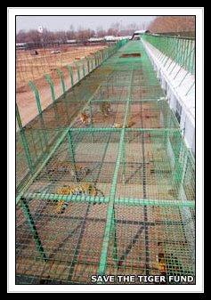 Tiger Farming