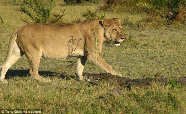 Buaya di Serang Singa