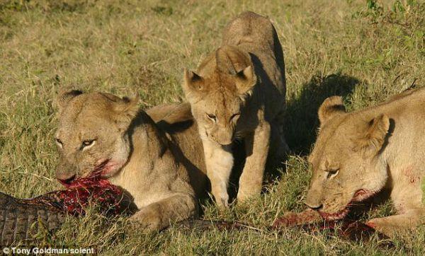 Buaya Tersebut Menjadi Santapan Para Singa