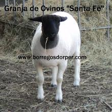 Corderita de 4 Meses, Santa Fe Dorper.