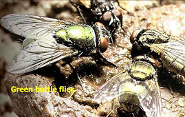 Lalat Hijau, Green Bottle Flies