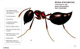 Crematogaster sp., Acrobat Ant